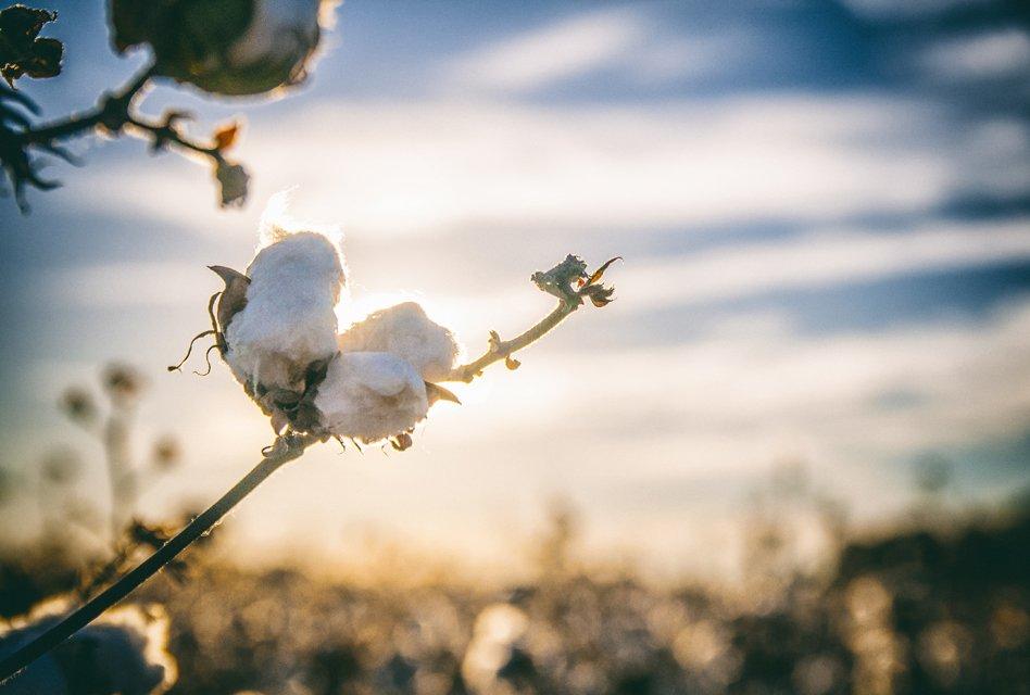 Gildan steps up standards on sustainable cotton